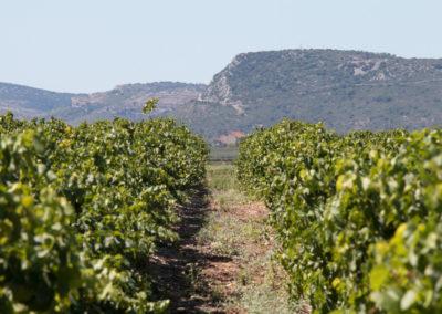 Les vignes bercées par le soleil