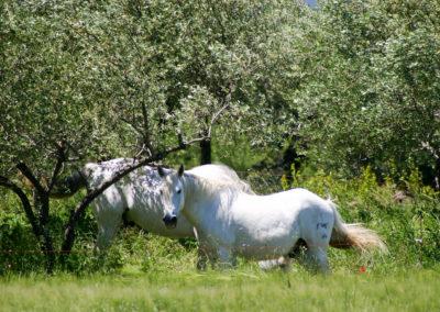 Les chevaux de Camargue